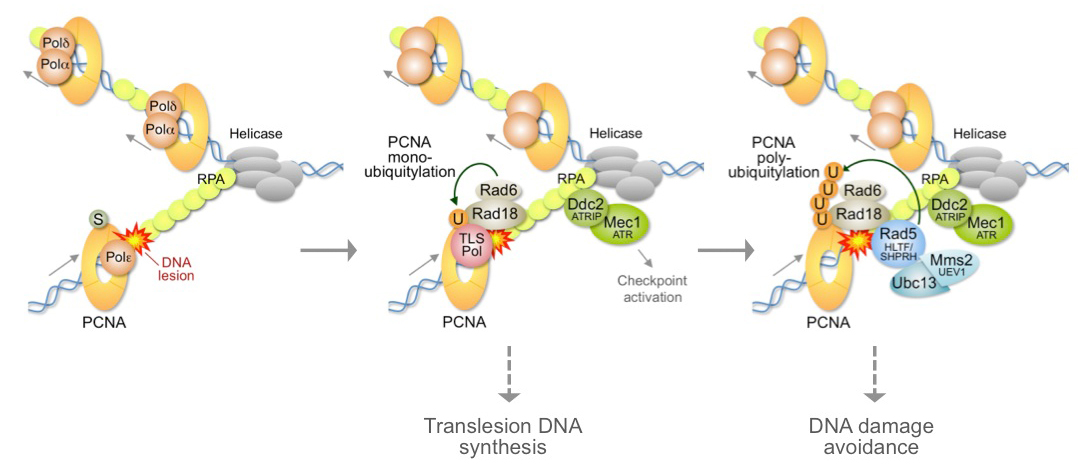DNA damage tolerance